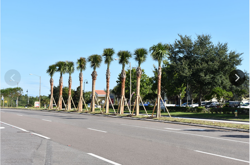 Palm Trees on Clarke Road