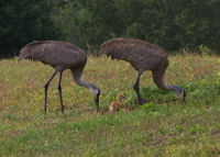 Sand Hill Cranes with Baby